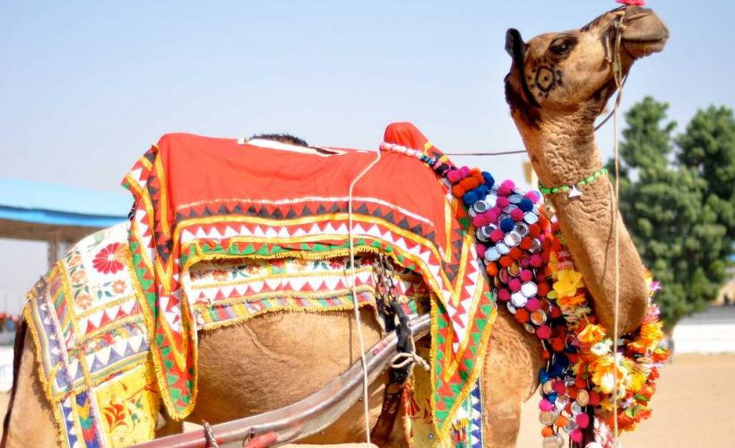 decorated-camel